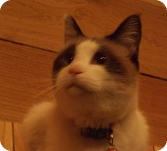 Snowshoe Cat for adoption in Witter, Arkansas - Avalon