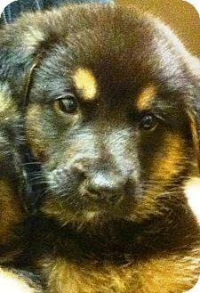 German Shepherd Dog Mix Puppy for adoption in Oswego, Illinois - I'M ADPTD Spcl Frcs Ltr Delta