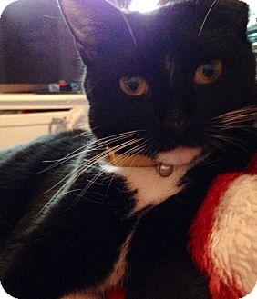 Domestic Shorthair Cat for adoption in Cerritos, California - London