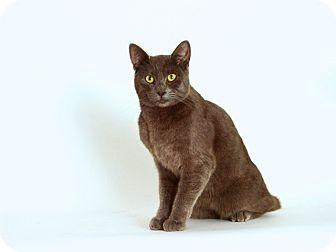 Domestic Shorthair Cat for adoption in San Andreas, California - Grayson