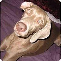 Adopt A Pet :: Schnitzel - Eustis, FL