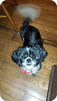 Shih Tzu Mix Dog for adoption in Plainfield, Illinois - Max