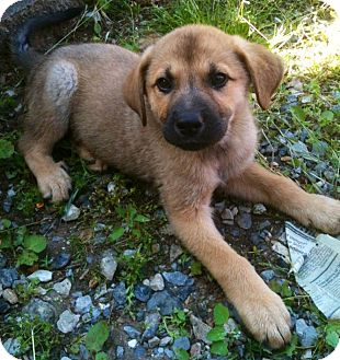 German Shepherd Dog Mix Puppy for adoption in New Oxford, Pennsylvania - Andy