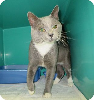 Domestic Shorthair Cat for adoption in Elizabeth City, North Carolina - Atom
