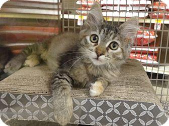 Domestic Longhair Kitten for adoption in Diamond Bar, California - CELINA