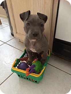 American Staffordshire Terrier Dog for adoption in Chandler, Arizona - Champ