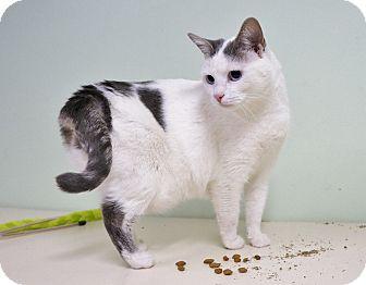 Domestic Shorthair Cat for adoption in Murphysboro, Illinois - Jekyll