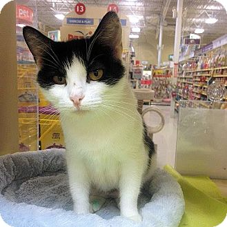 Domestic Shorthair Cat for adoption in Weatherford, Texas - Maddie