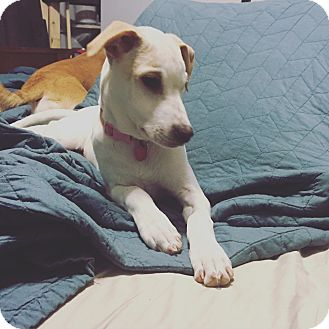 Labrador Retriever Mix Puppy for adoption in Brattleboro, Vermont - Lanie