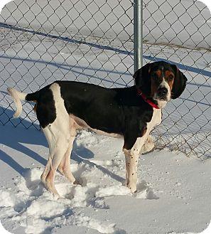 Treeing Walker Coonhound Dog for adoption in Lisbon, Ohio - Sawyer
