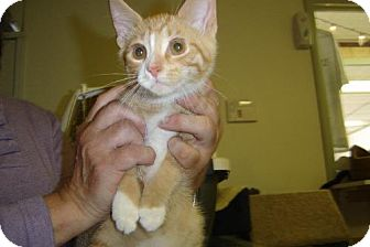 Domestic Shorthair Cat for adoption in Island Heights, New Jersey - Buddy