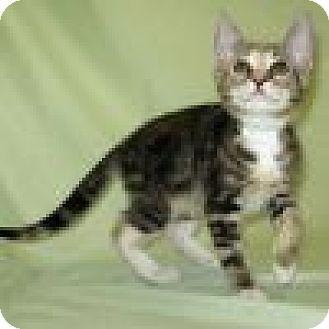Domestic Shorthair Cat for adoption in Powell, Ohio - Sumosa