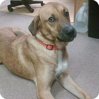 Labrador Retriever/Shepherd (Unknown Type) Mix Dog for adoption in Minneapolis, Minnesota - Rex