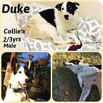 Collie Mix Dog for adoption in DeForest, Wisconsin - Duke