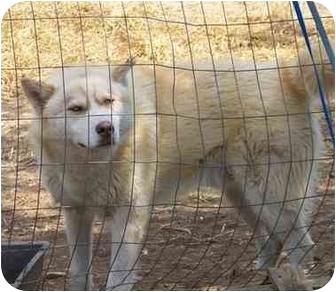 Siberian Husky Dog for adoption in Gallatin, Tennessee - De Da