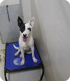Pit Bull Terrier Mix Dog for adoption in Odessa, Texas - A25 GOOFY