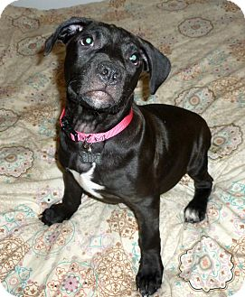 Terrier (Unknown Type, Medium)/Labrador Retriever Mix Puppy for adoption in Detroit, Michigan - Lion-Adopted!