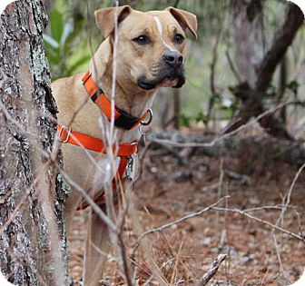 American Pit Bull Terrier/Hound (Unknown Type) Mix Dog for adoption in Pinehurst, North Carolina - Sweetie Adoption Pending