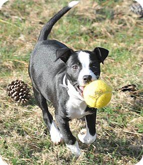 Border Collie/Labrador Retriever Mix Puppy for adoption in Manchester, Vermont - Evelyn