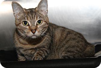 Domestic Shorthair Cat for adoption in Marietta, Ohio - Kachina Doll (Pregnant)