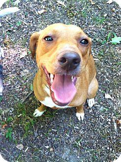 Labrador Retriever/Redbone Coonhound Mix Dog for adoption in Gobles, Michigan - Clyde