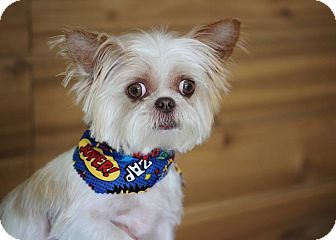 Shih Tzu/Maltese Mix Dog for adoption in Munster, Indiana - Chewy