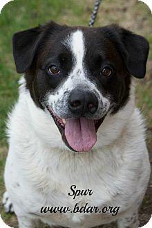 Springer Spaniel/American Bulldog Mix Dog for adoption in Cheyenne, Wyoming - Spur