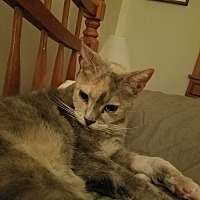 Domestic Shorthair Cat for adoption in Vineland, New Jersey - Sazon