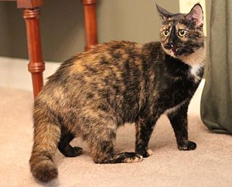 Domestic Shorthair Cat for adoption in Franklin, Tennessee - GABRIELLE