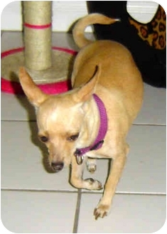 Chihuahua Mix Dog for adoption in San Diego, California - Bebe
