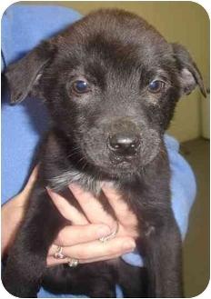 Labrador Retriever Mix Puppy for adoption in Old Bridge, New Jersey - Skeeter