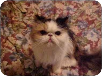 Persian Cat for adoption in Beverly Hills, California - Butterscotch