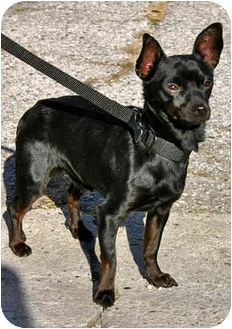 Chihuahua Mix Dog for adoption in Los Angeles, California - WAYLON
