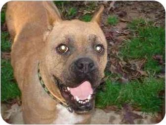 Boxer Dog for adoption in W. Columbia, South Carolina - Gray