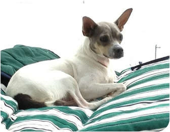 Fox Terrier (Smooth)/Jack Russell Terrier Mix Dog for adoption in Miami, Florida - Jackie O'