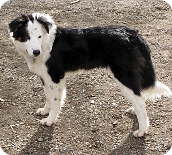 Border Collie Mix Dog for adoption in Denver, Colorado - Trig