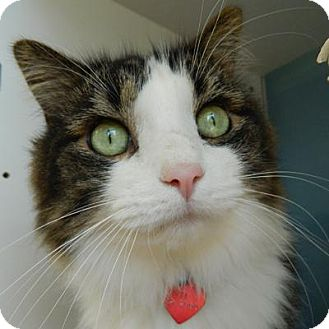 Domestic Longhair Cat for adoption in Denver, Colorado - J.J.