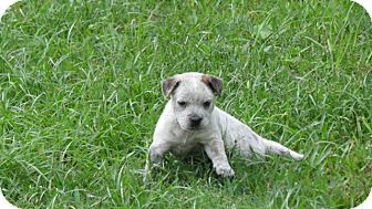 Blue Heeler/Border Collie Mix Puppy for adoption in Middleburg, Florida - Amelia