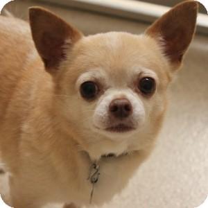 Chihuahua Mix Dog for adoption in Naperville, Illinois - Milo