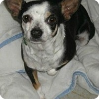Chihuahua Mix Dog for adoption in Mesa, Arizona - Perdy