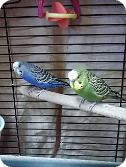 Parakeet - Other for adoption in Ogden, Utah - Tris