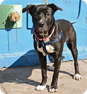 Labrador Retriever/Great Dane Mix Dog for adoption in Jersey City, New Jersey - Daisy Lewis