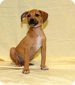 Terrier (Unknown Type, Small) Mix Puppy for adoption in Okeechobee, Florida - Honey