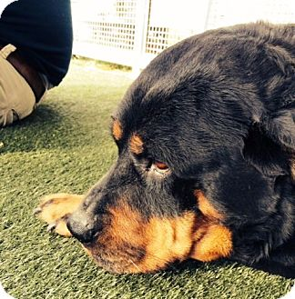 Rottweiler Dog for adoption in West Los Angeles, California - Nama