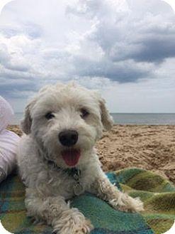 Coton de Tulear Dog for adoption in Schaumburg, Illinois - Banks