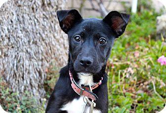 Labrador Retriever Mix Puppy for adoption in Los Angeles, California - Jules