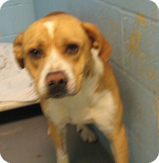 Boxer/Pit Bull Terrier Mix Dog for adoption in Stillwater, Oklahoma - Little Dude