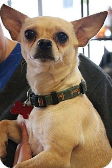 Chihuahua Mix Puppy for adoption in New Orleans, Louisiana - Romper