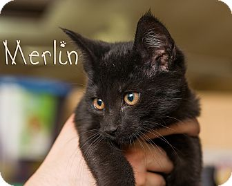 Domestic Shorthair Kitten for adoption in Somerset, Pennsylvania - Merlin