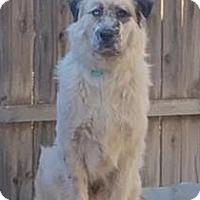 Adopt A Pet :: Aahz McBuckle - Kyle, TX